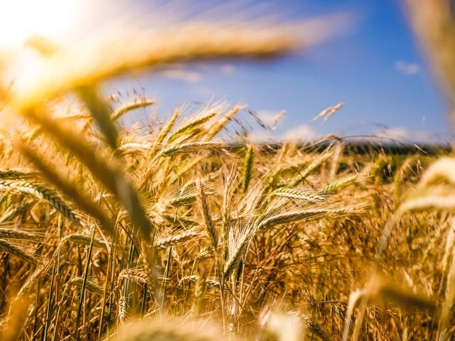 Zwalczanie maku polnego w zbożach
