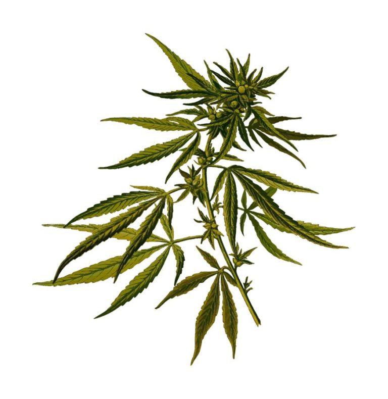 Historia wykorzystanie marihuany w medycynie